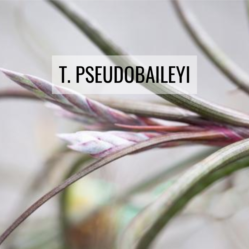 tillandsia pseudobaileyi air plants