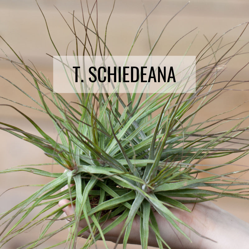 Tillandsia schiedeana air plants