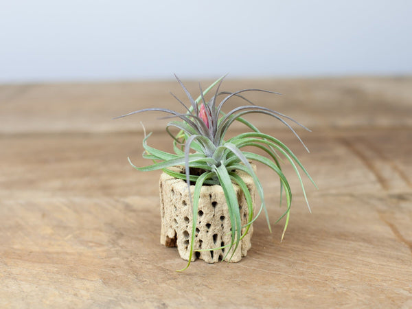 Tillandsia aeranthos hybrid air plant with Cholla wood from Air Plant Design Studio
