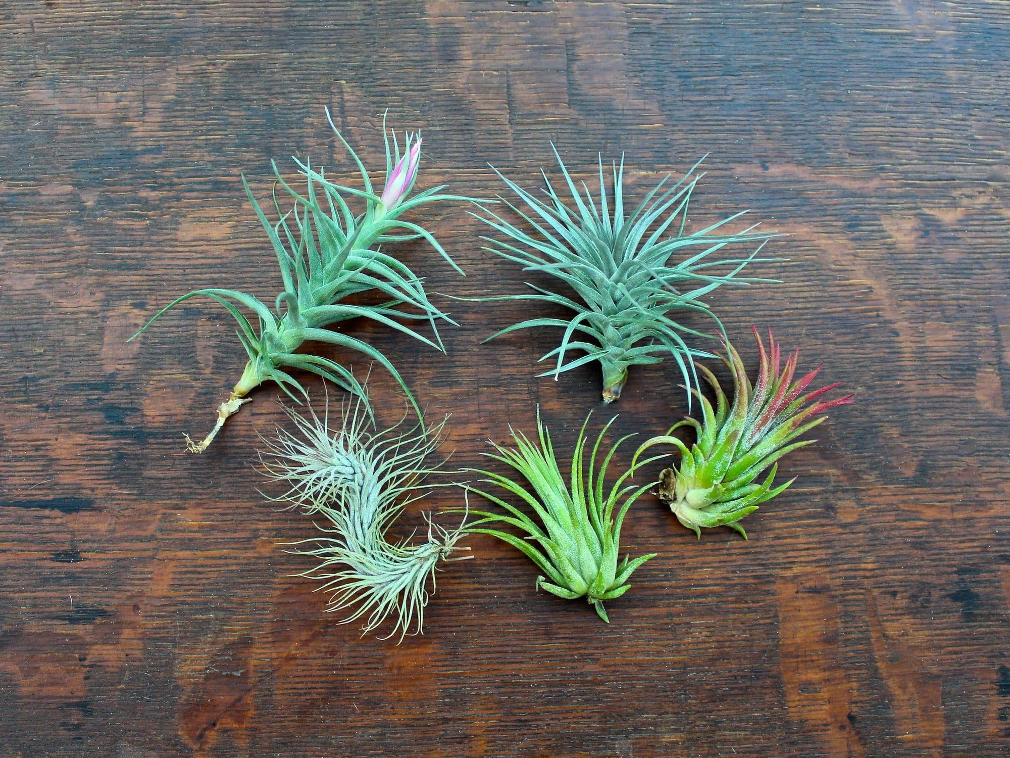 tillandsia air plant starter kit