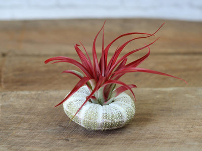 Sea urchin with Brachycaulos Abdita Air Plant