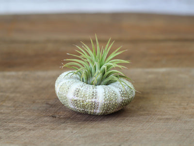 Sea urchin with Ionantha Air Plant