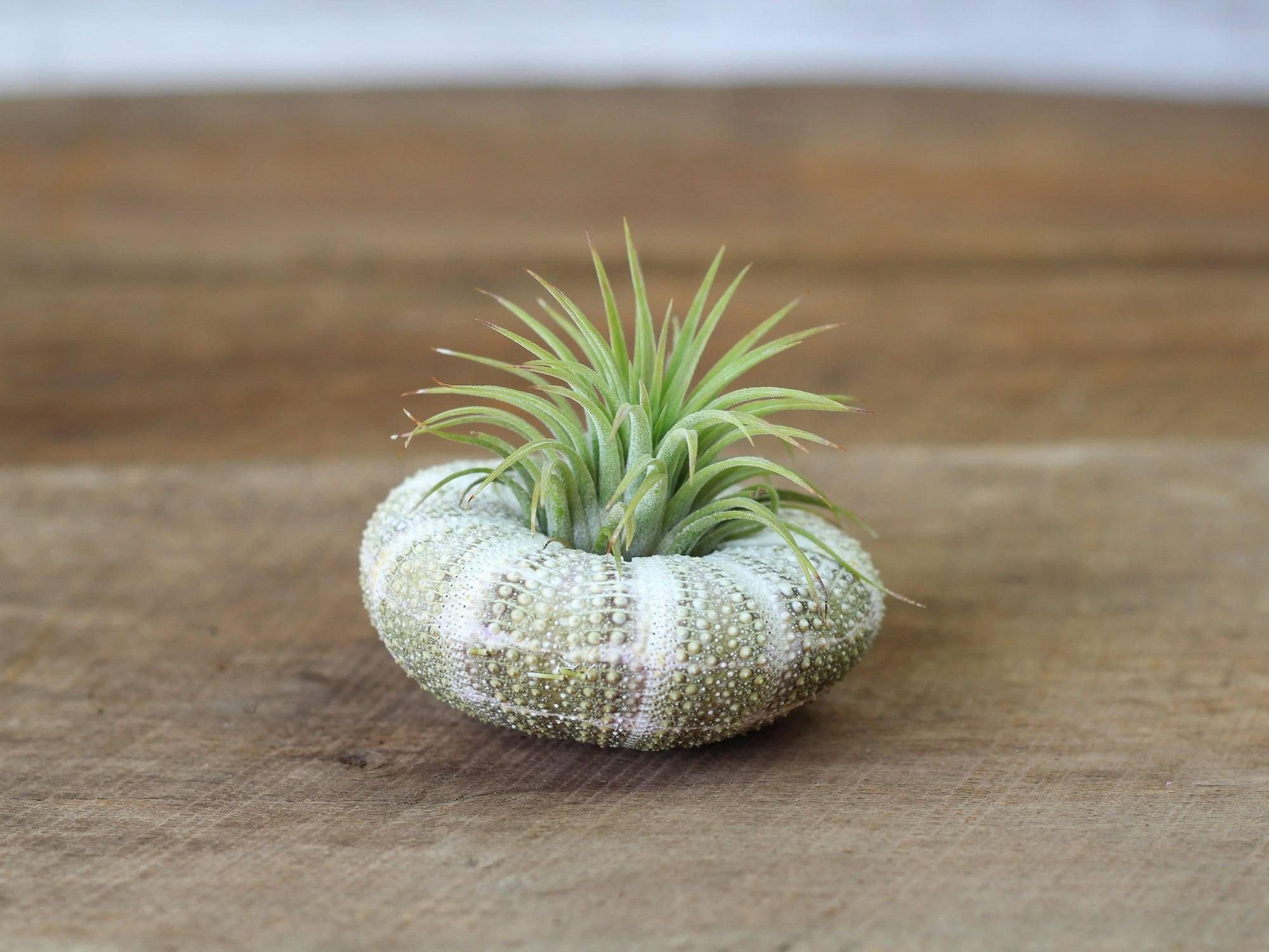 Wholesale Alfonso Sea Urchin + Ionantha Air Plant