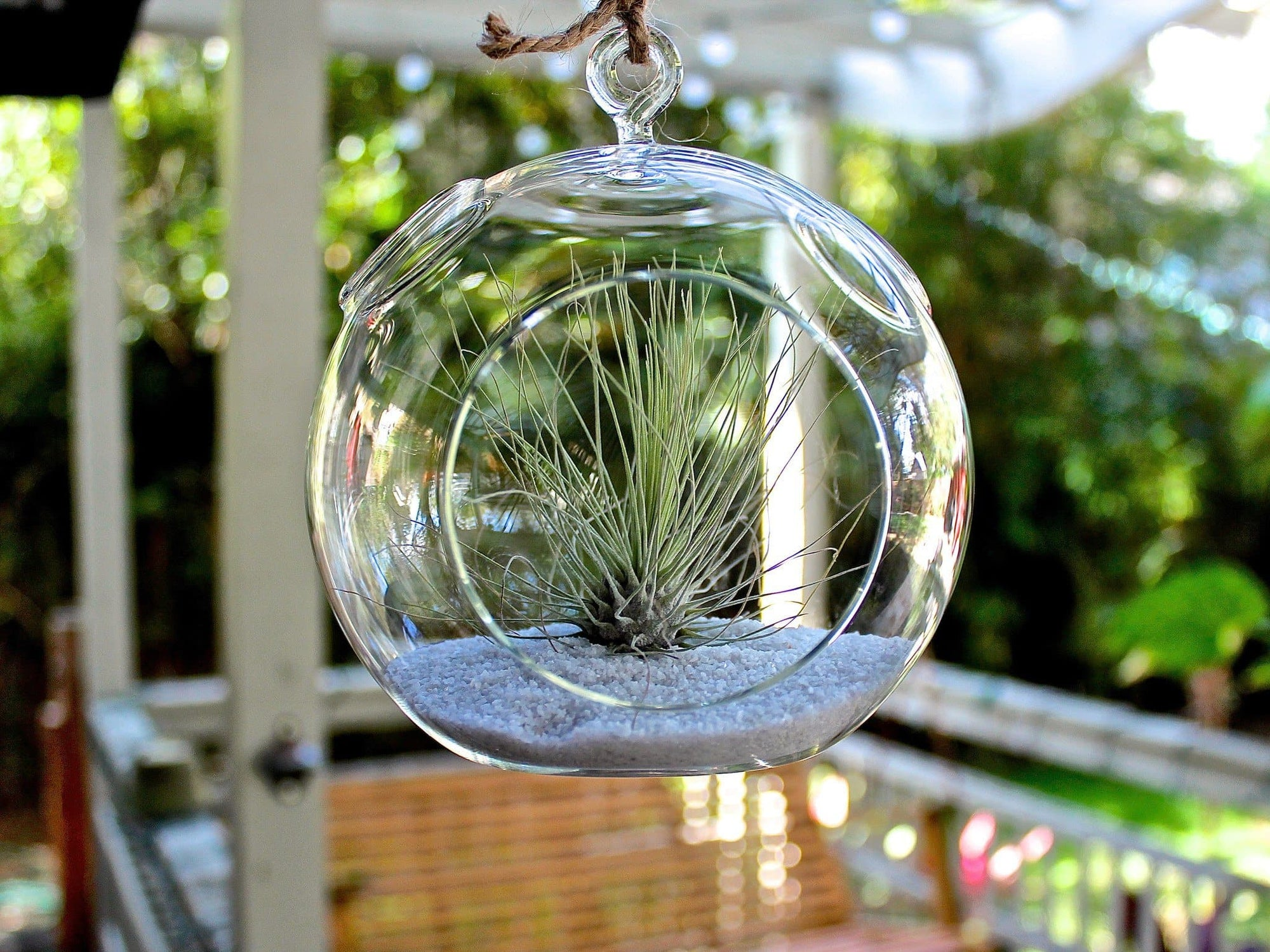 Air Plant Terrarium Argentea Air Plant Hanging Terrarium Kit Air Plant Design Studio