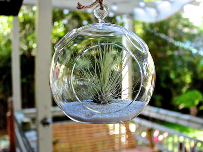 glass Tillandsia fuchsii v gracilis air plant terrarium