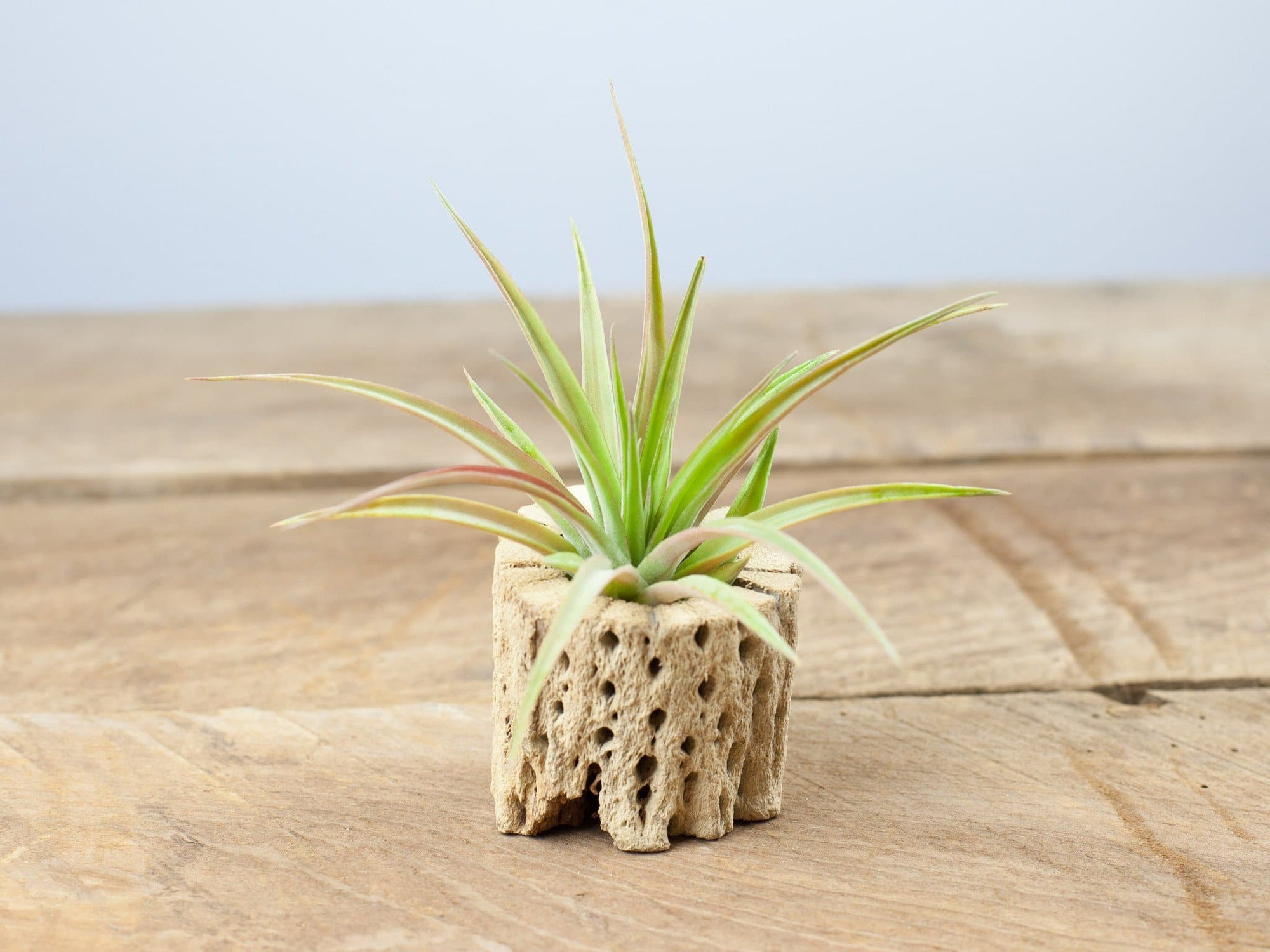 brachycaulos air plant with cholla wood from Air Plant Design Studio