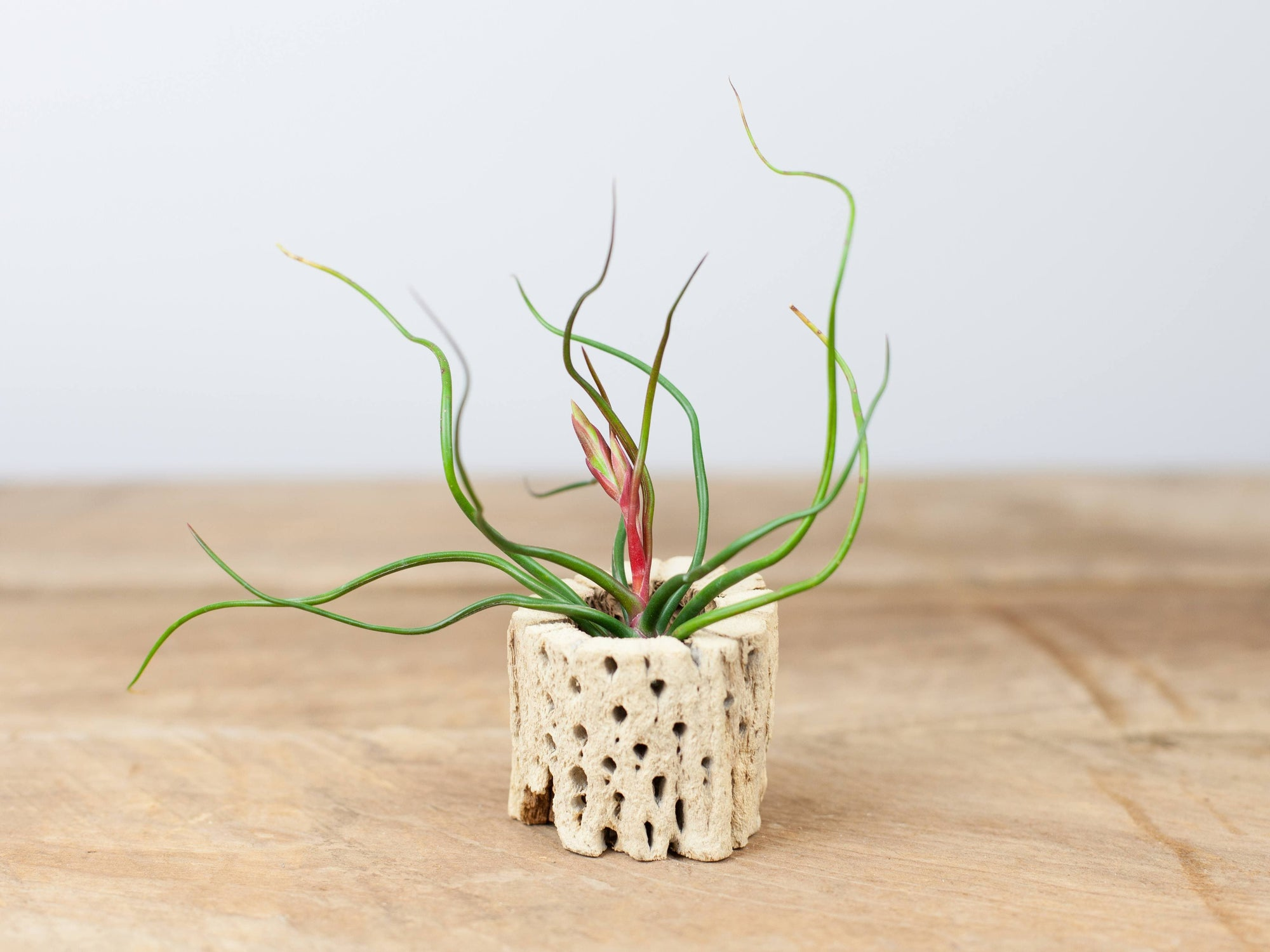 Wholesale Cholla Wood With Tillandsia Bulbosa Air Plant
