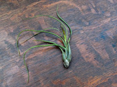 Butzii Air Plant Trio Pack