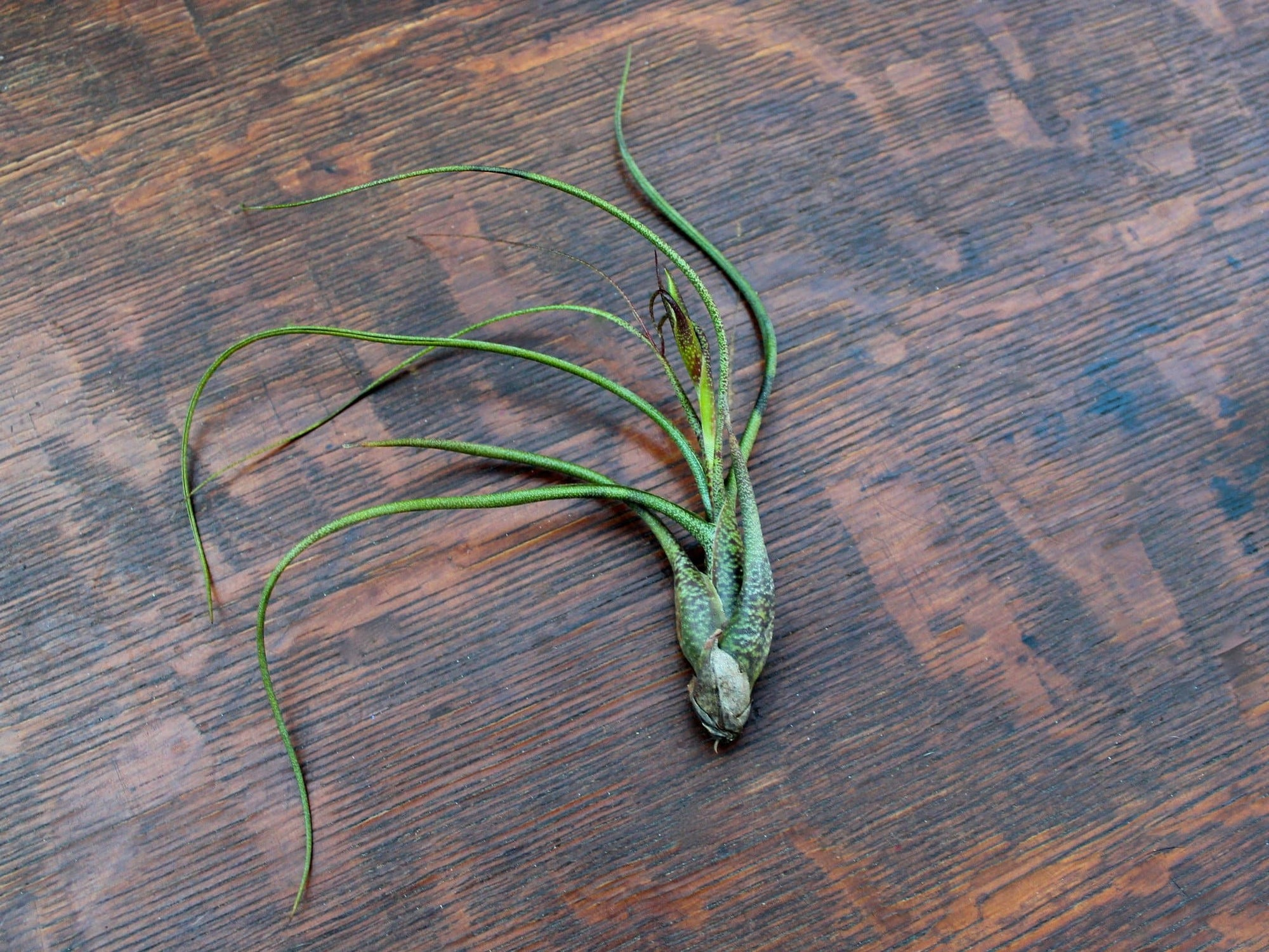 tillandsia butzii air plant