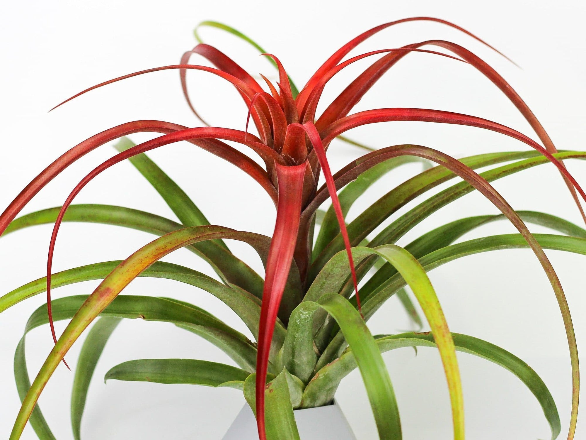 tillandsia capitata red air plants