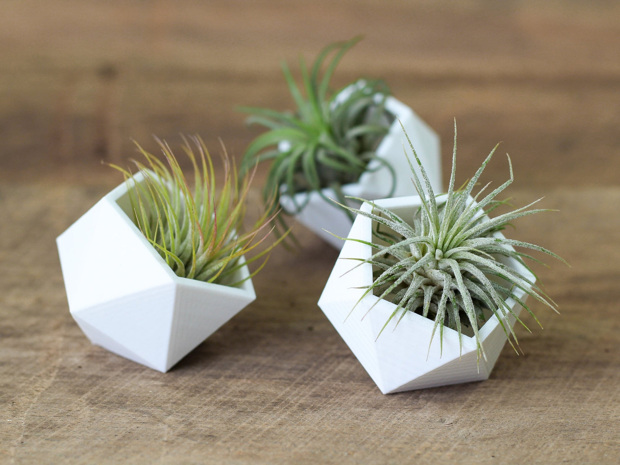 Wholesale Geometric Air Plant Holders with Ionantha Air Plants