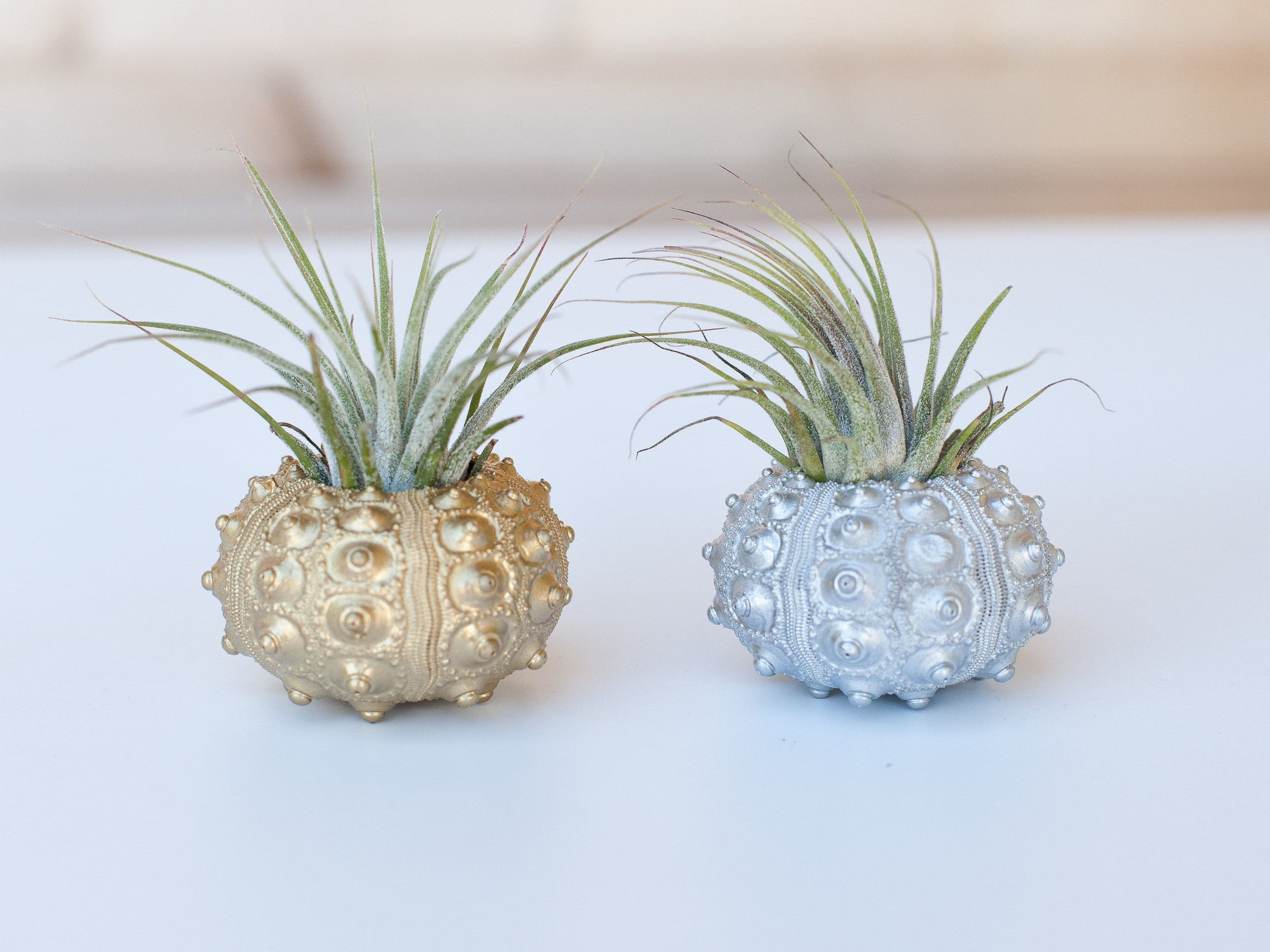 gift boxed tillandsia air plant sea urchin holders