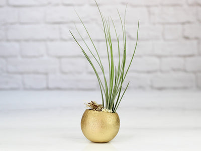 gold tillandsia air plant pod