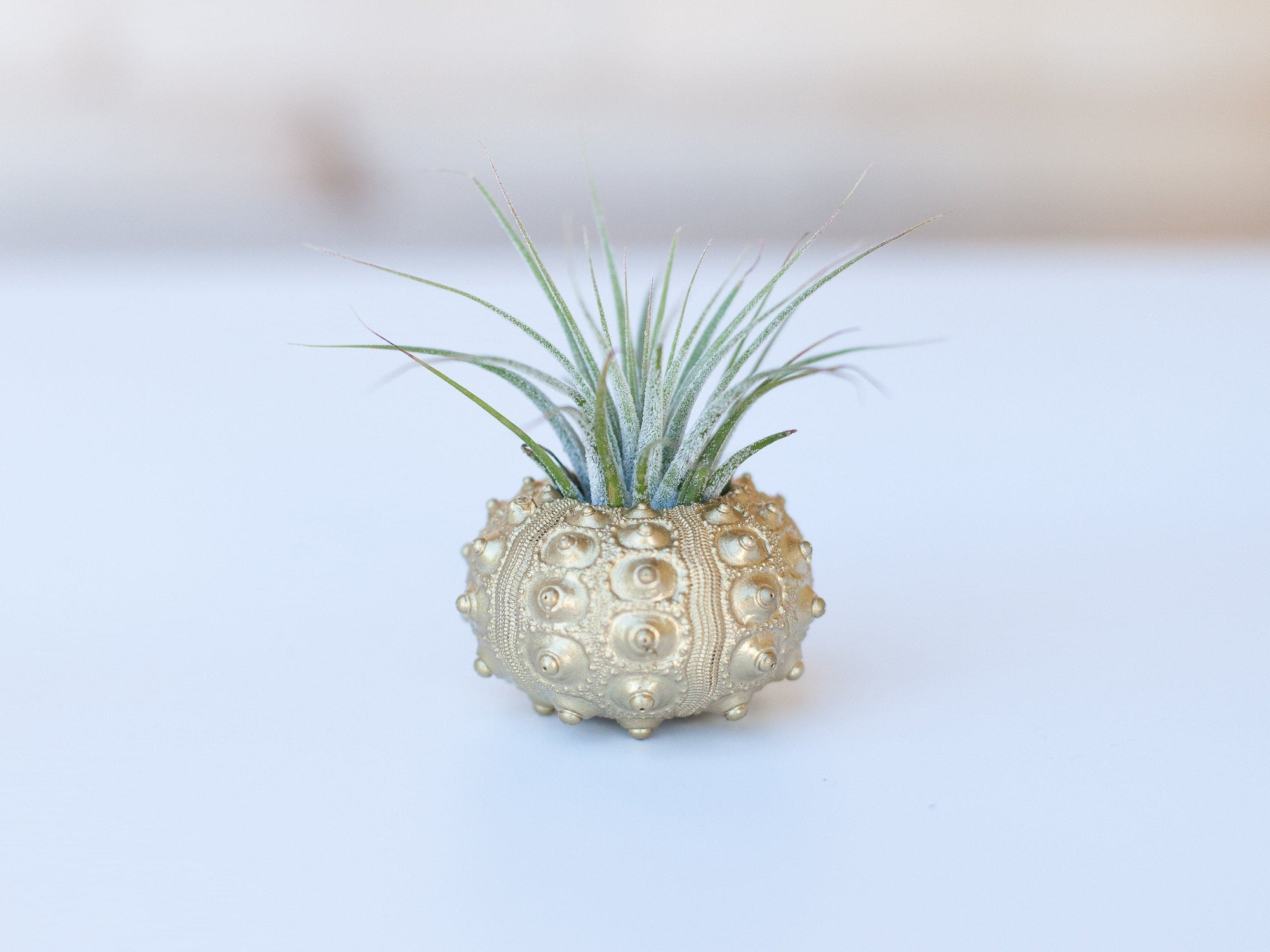 gold sea urchin tillandsia air plant holder