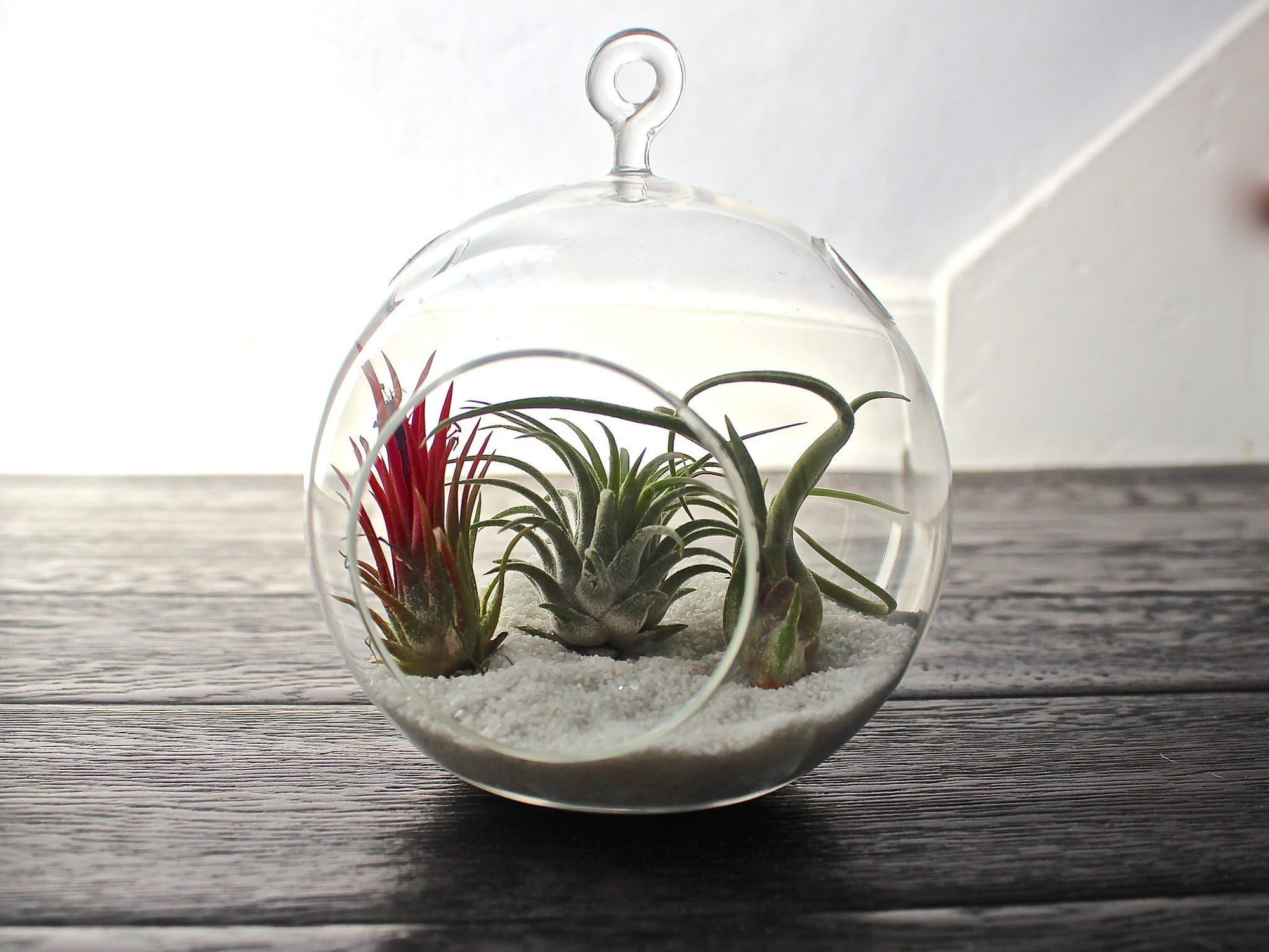 Air Plant Terrarium Hanging Terrarium Air Plant Kit Terrariums Air Plant Design Studio
