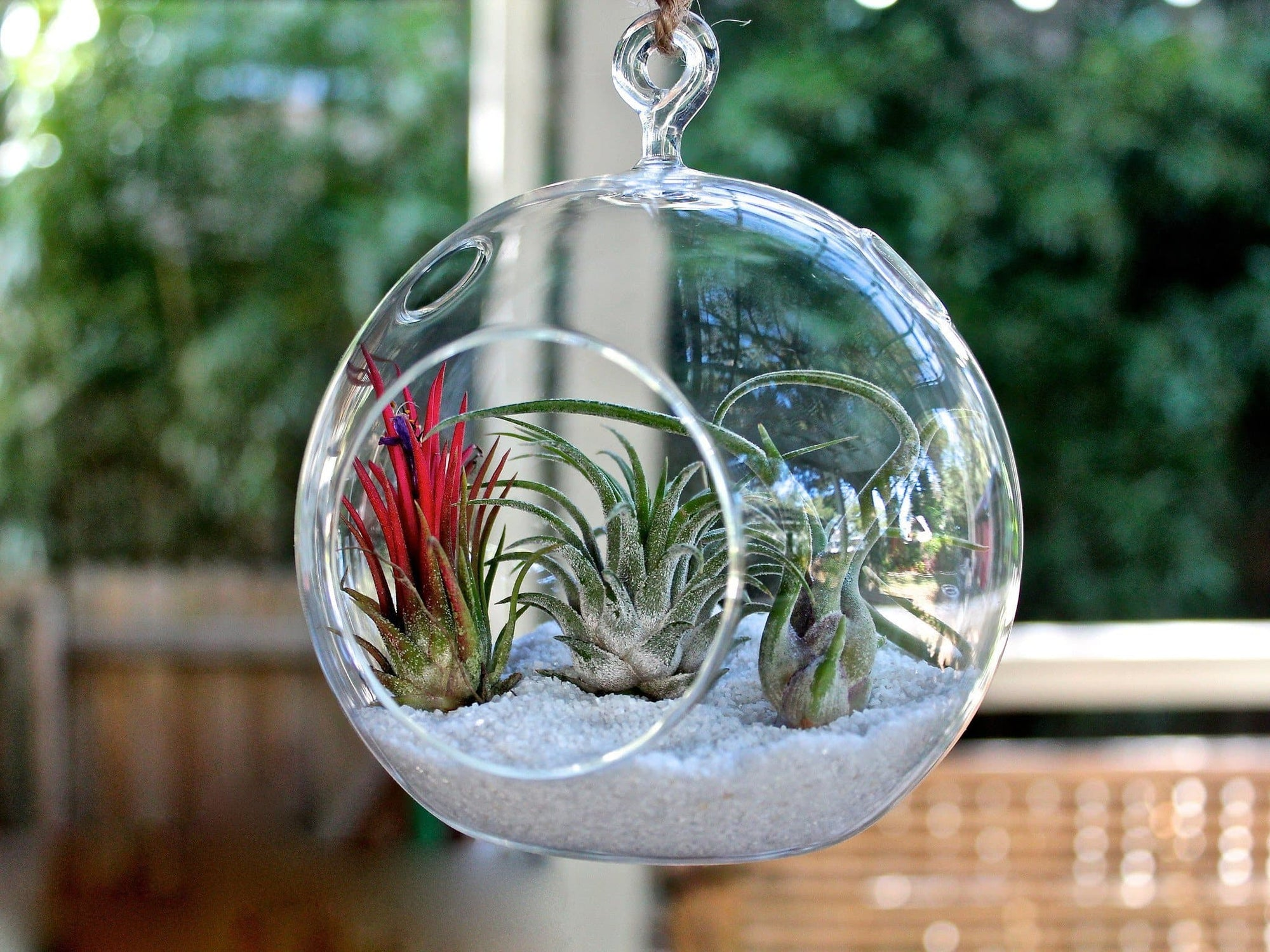 Hanging Terrarium Air Plant Kit
