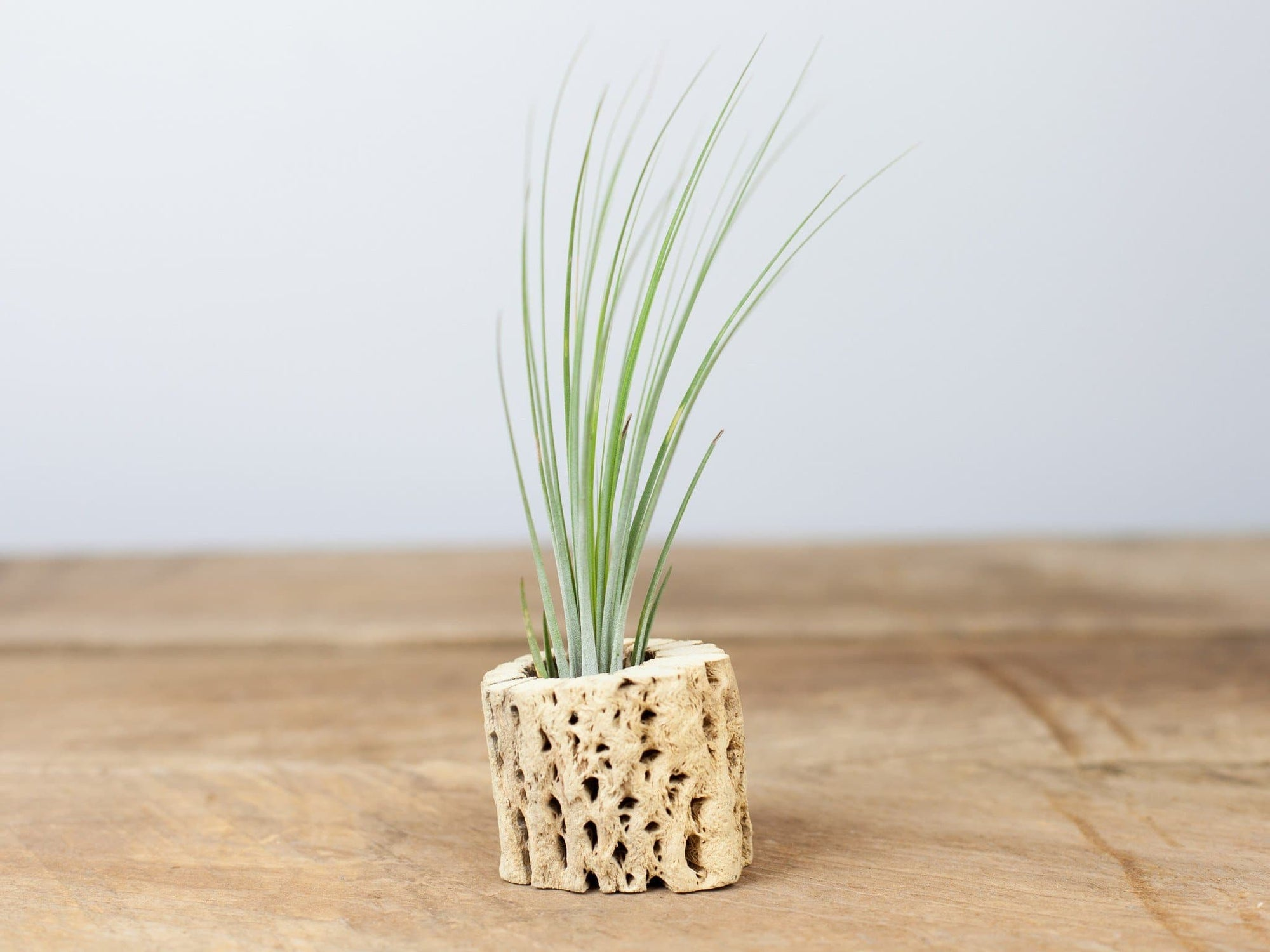 Tillandsia juncea air plant with Cholla wood from Air Plant Design Studio