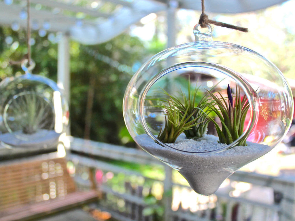 Large Hanging Air Plant Terrarium Kit