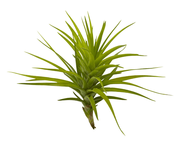 Montana Large Air Plant
