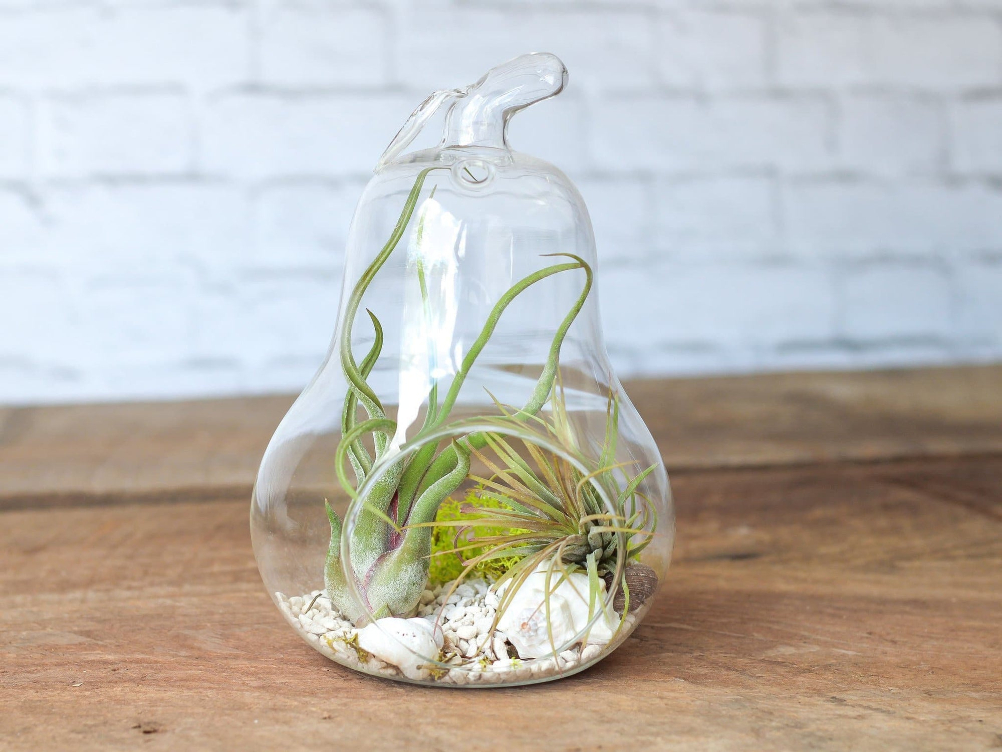 glass tillandsia air plant pear terrarium