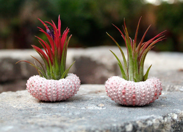 Pink Sea Urchin Air Plant Duo Kit