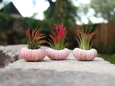 pink sea urchin tillandsia air plant holders