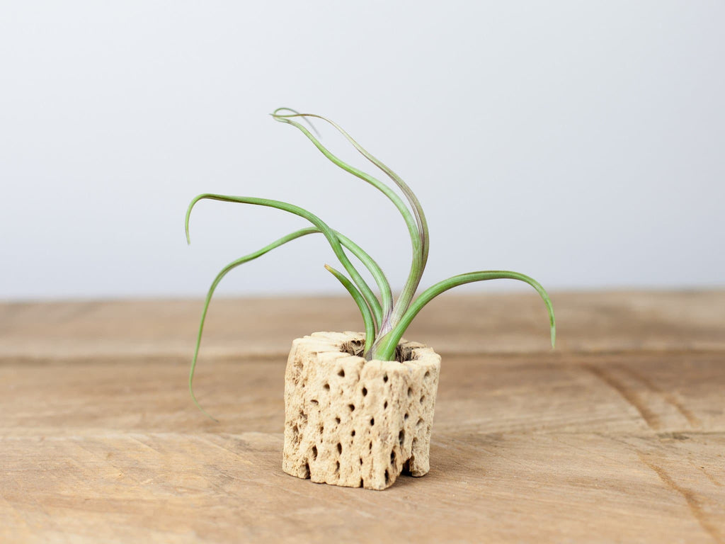 Tillandsia pseudobaileyi air plant with Cholla Wood from Air Plant Design Studio