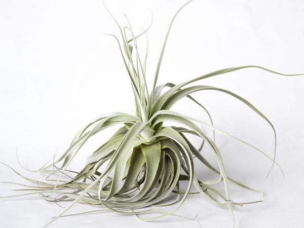 Straminea Thick Leaf Air Plant