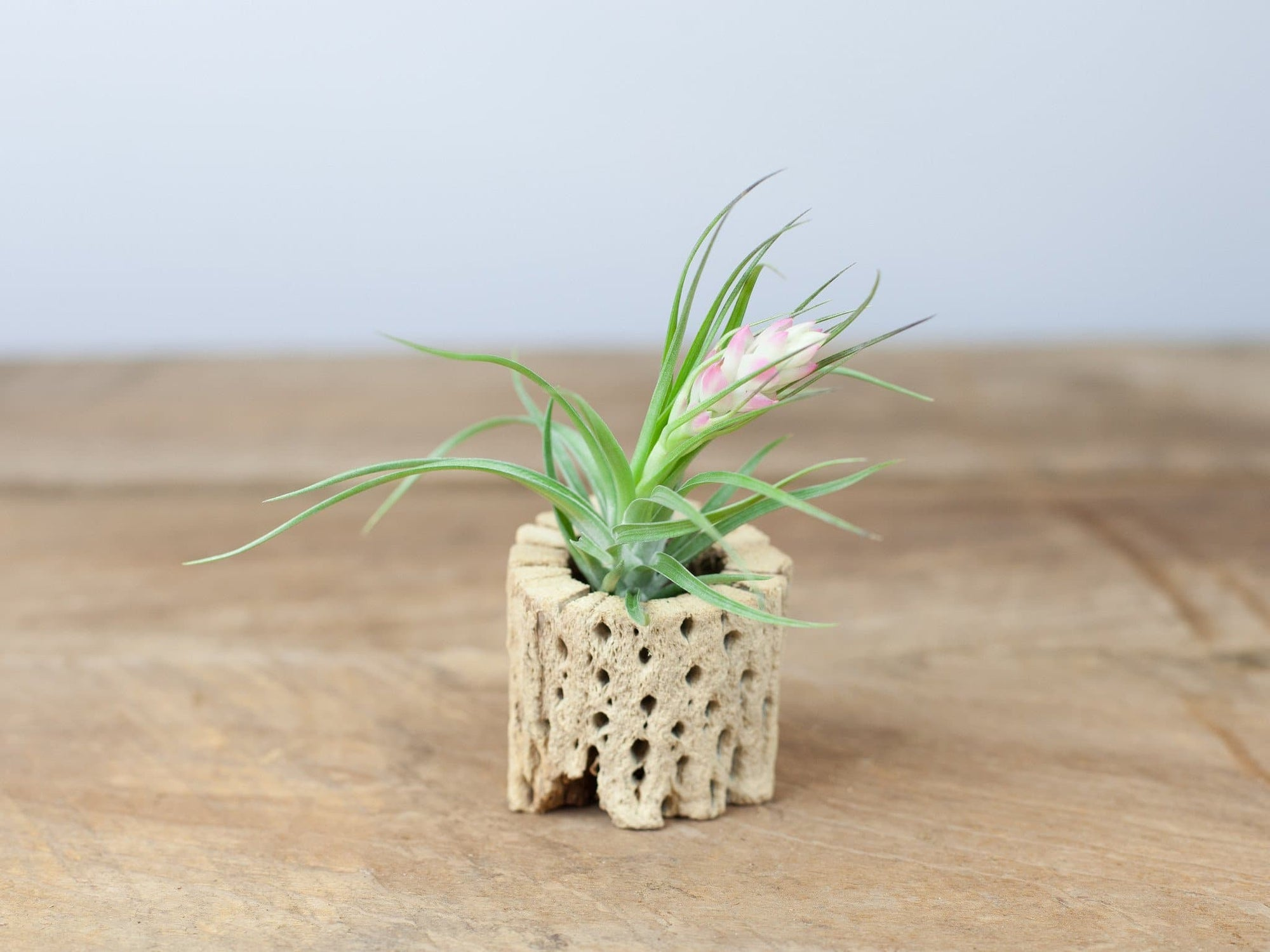 Tillandsia stricta air plant with Cholla wood from Air Plant Design Studio