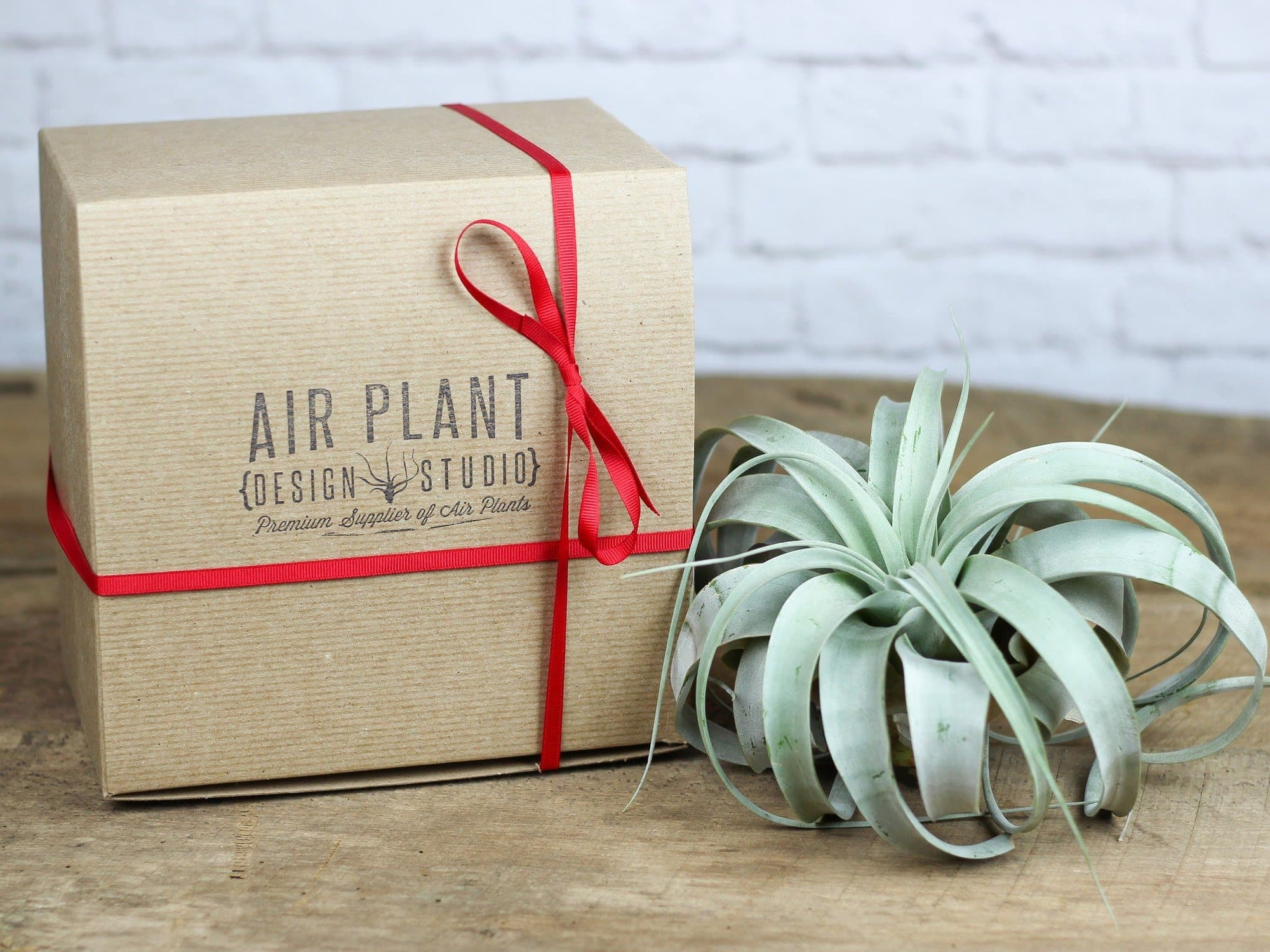 gift boxed tillandsia xerographica air plant