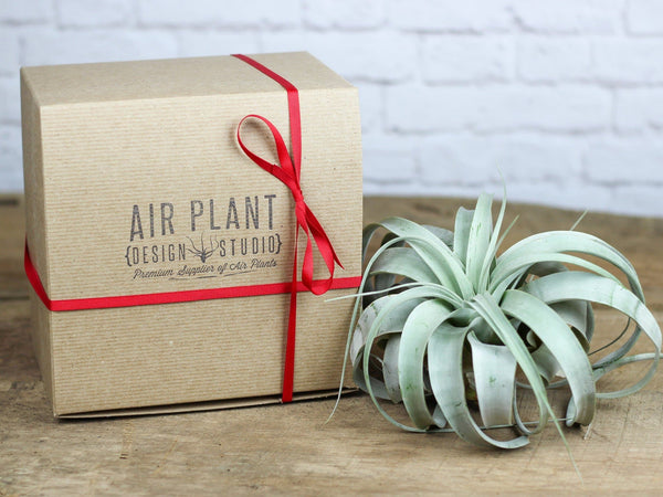 Air Plant Gifts