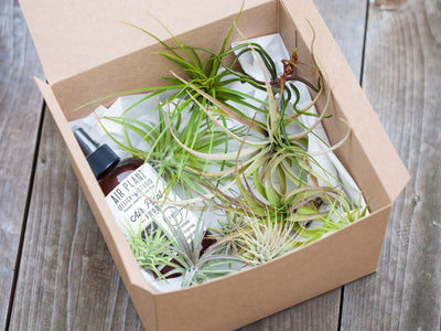 gift boxed tillandsia air plants