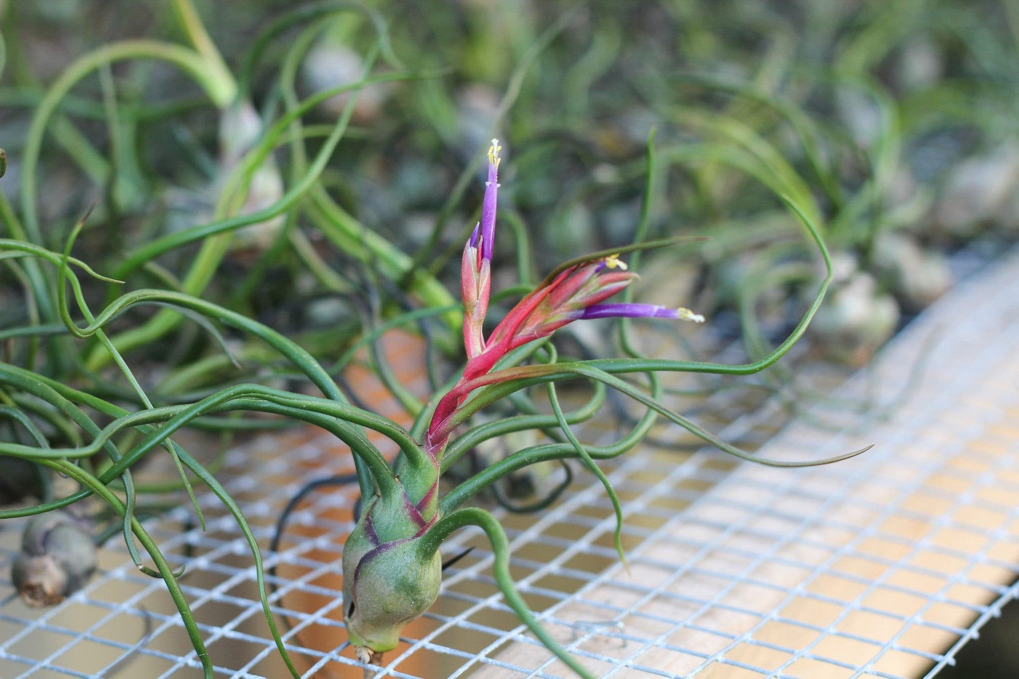 Wholesale Tillandsia bulbosa guatemala air plants