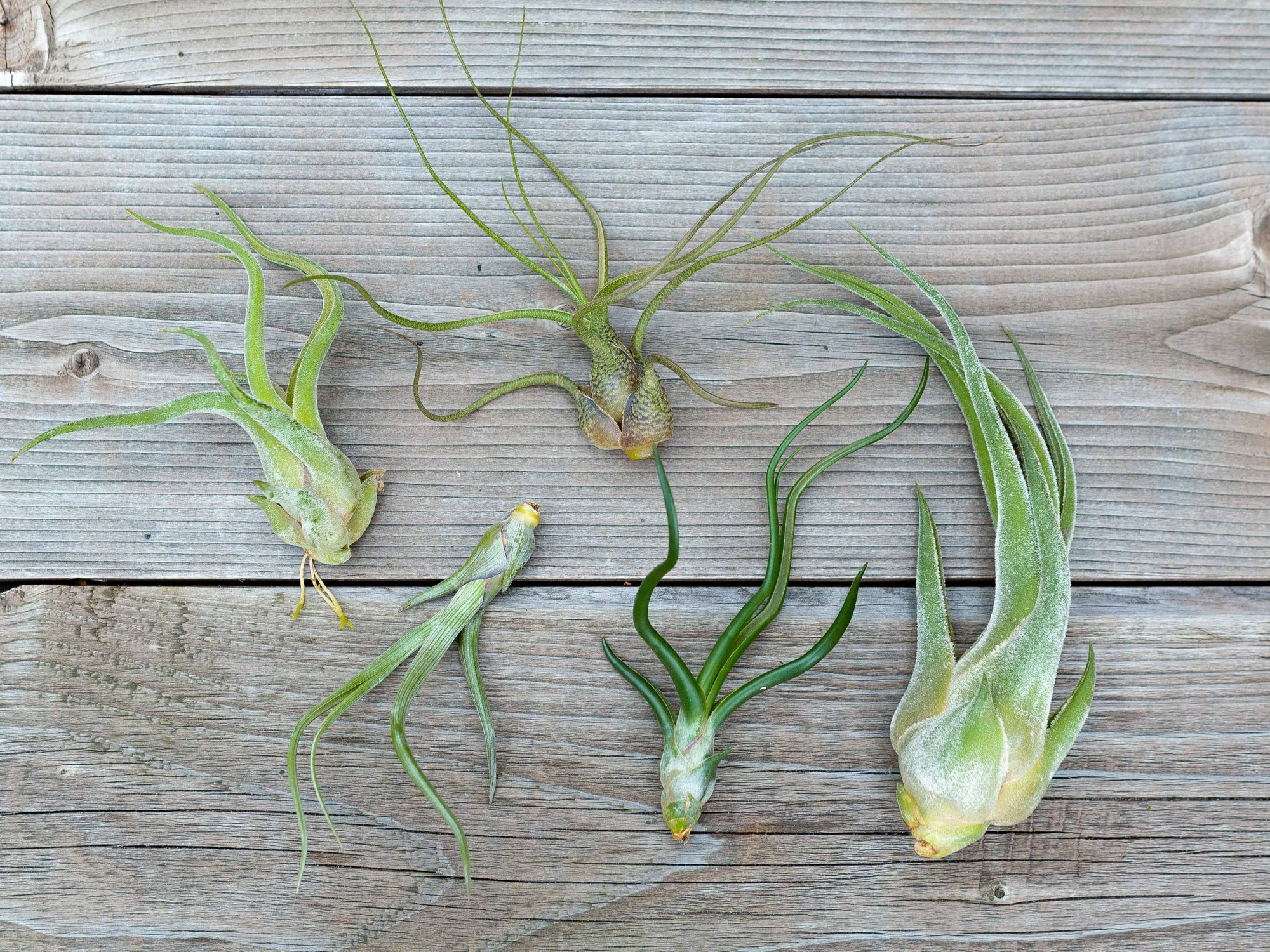 Bulbous Air Plant Combo Pack