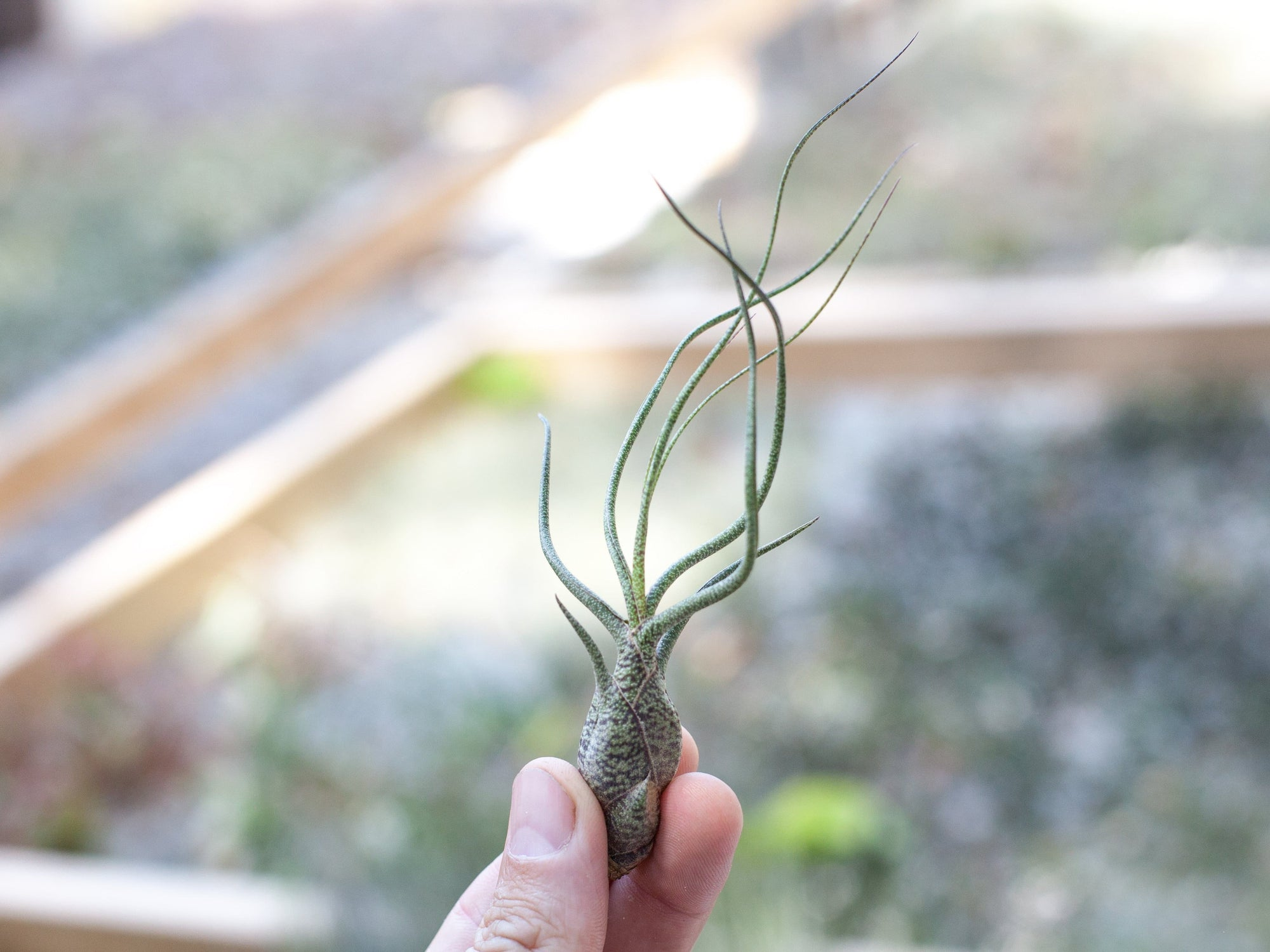 Wholesale Tillandsia butzii air plants
