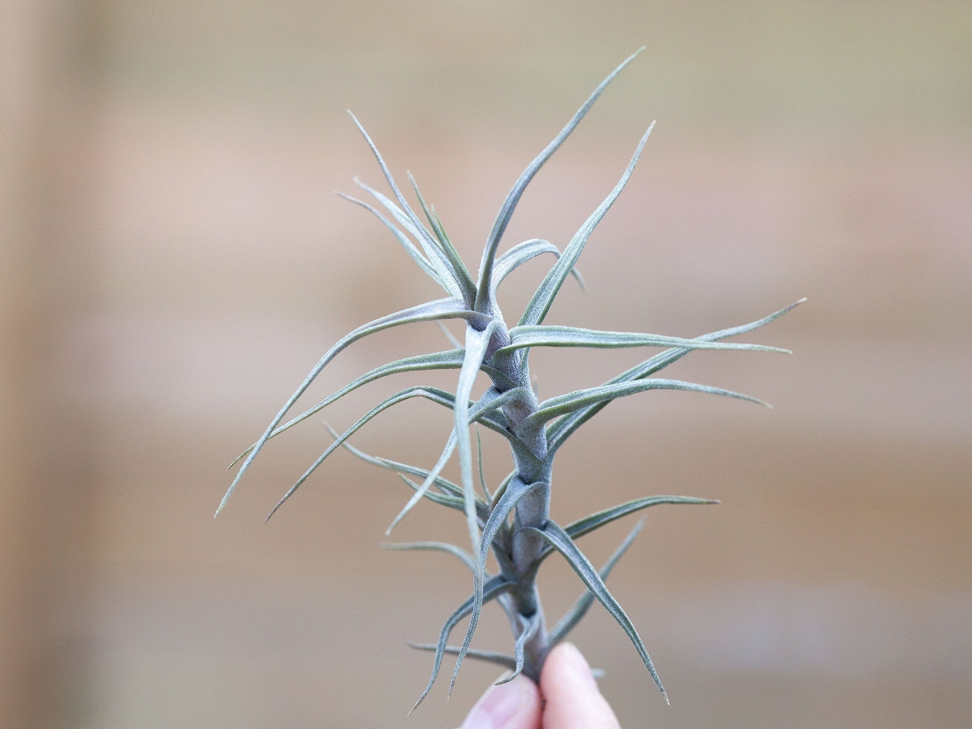 Tillandsia diaguitensis air plant