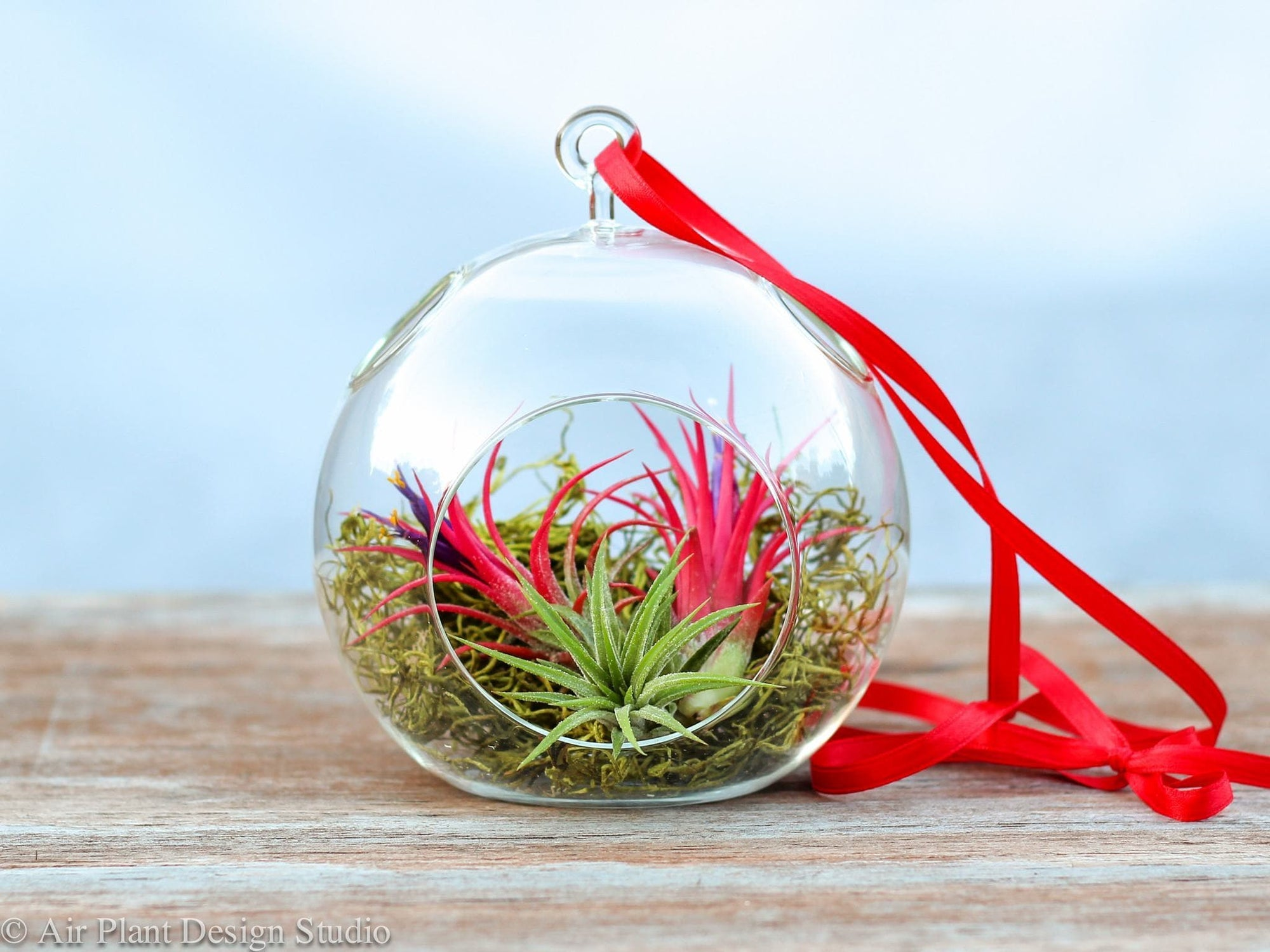 hanging tillandsia air plant holiday terrarium
