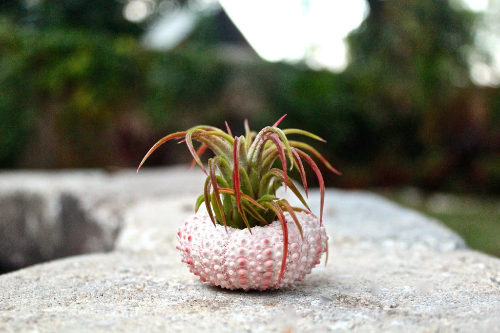 air plant sea urchin
