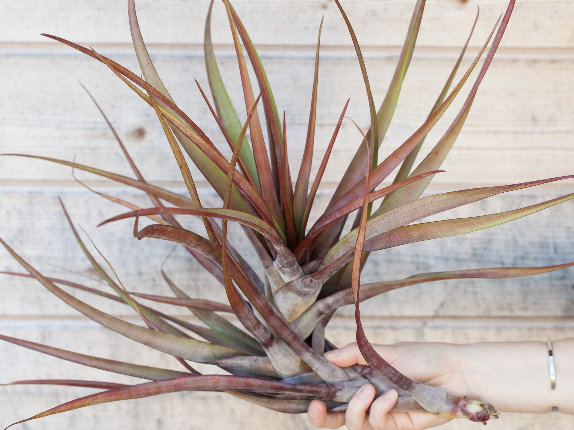 Tillandsia novakii air plants