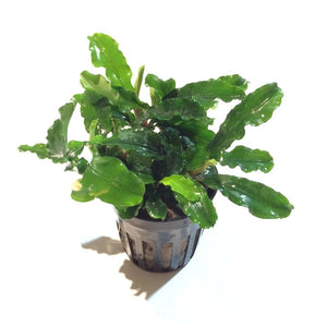 Live Aquarium Plants:  Potted Assorted Bucephalandra sp.