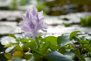Live Water Hyacinth Pond Floating Plant
