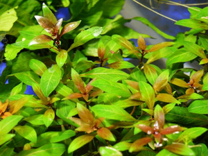 Live Aquarium Potted Plant: Ludwigia repens