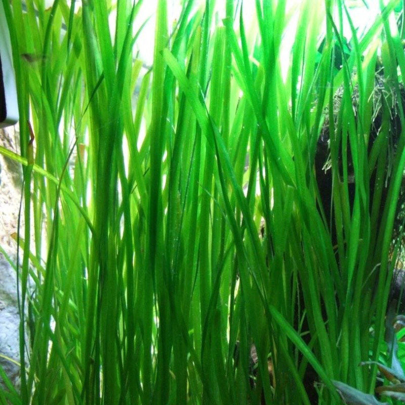 Easy Live Potted ADA Aquarium Plant: Vallisneria spiralis Jungle Val