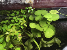Load image into Gallery viewer, Live ADA Aquarium Potted Plant: Brazilian Pennywort (Hydrocotyle leucocephala)