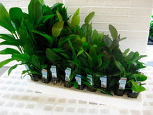 Load image into Gallery viewer, 12 Pack Assorted Potted Aquarium Plants