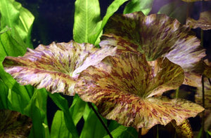 Live Aquarium Plants: Red Tiger Lotus (Nymphaea zenkeri)