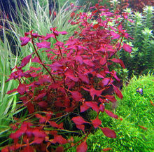 Load image into Gallery viewer, Live Potted Aquarium Plants: Ludwigia Super Red Mini
