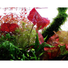Load image into Gallery viewer, Live Aquarium Potted Plants: Red Tiger Lotus (Nymphaea zenkeri)