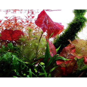 Live Aquarium Potted Plants: Red Tiger Lotus (Nymphaea zenkeri)