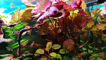 Load image into Gallery viewer, Live Aquarium Plants: Red Tiger Lotus (Nymphaea zenkeri)
